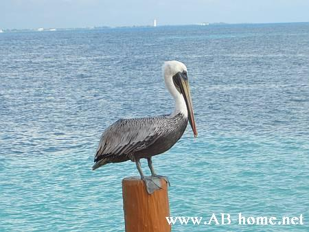 Pelican in Mexico