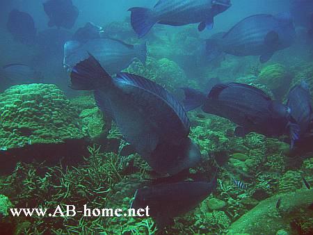 Humphead Parrotfishs