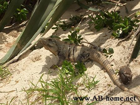iguana at playa del carmen