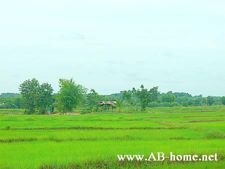 Ricefields near Udon Thani at Isaan