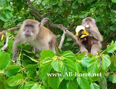 Monkeys on Ko Phi Phi
