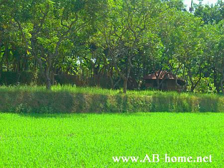 Ricefield on the way to south Bali.