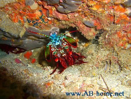Beautiful Mantis Crab