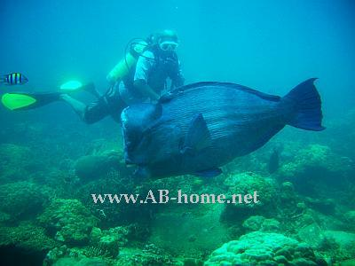 Humphead Parrotfish Perhentian Island