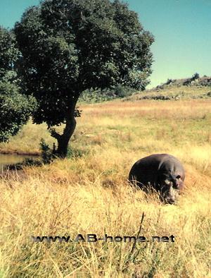 Hippos on a Safari
